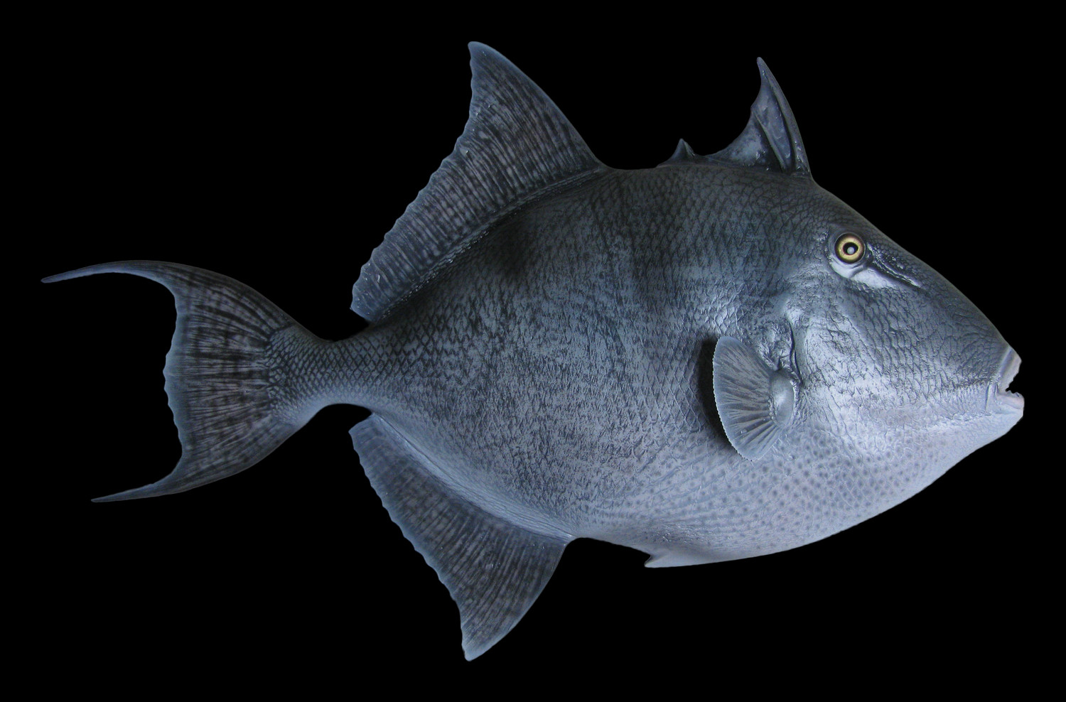 Grey Trigger Fish Fish Mount and Fish Replicas