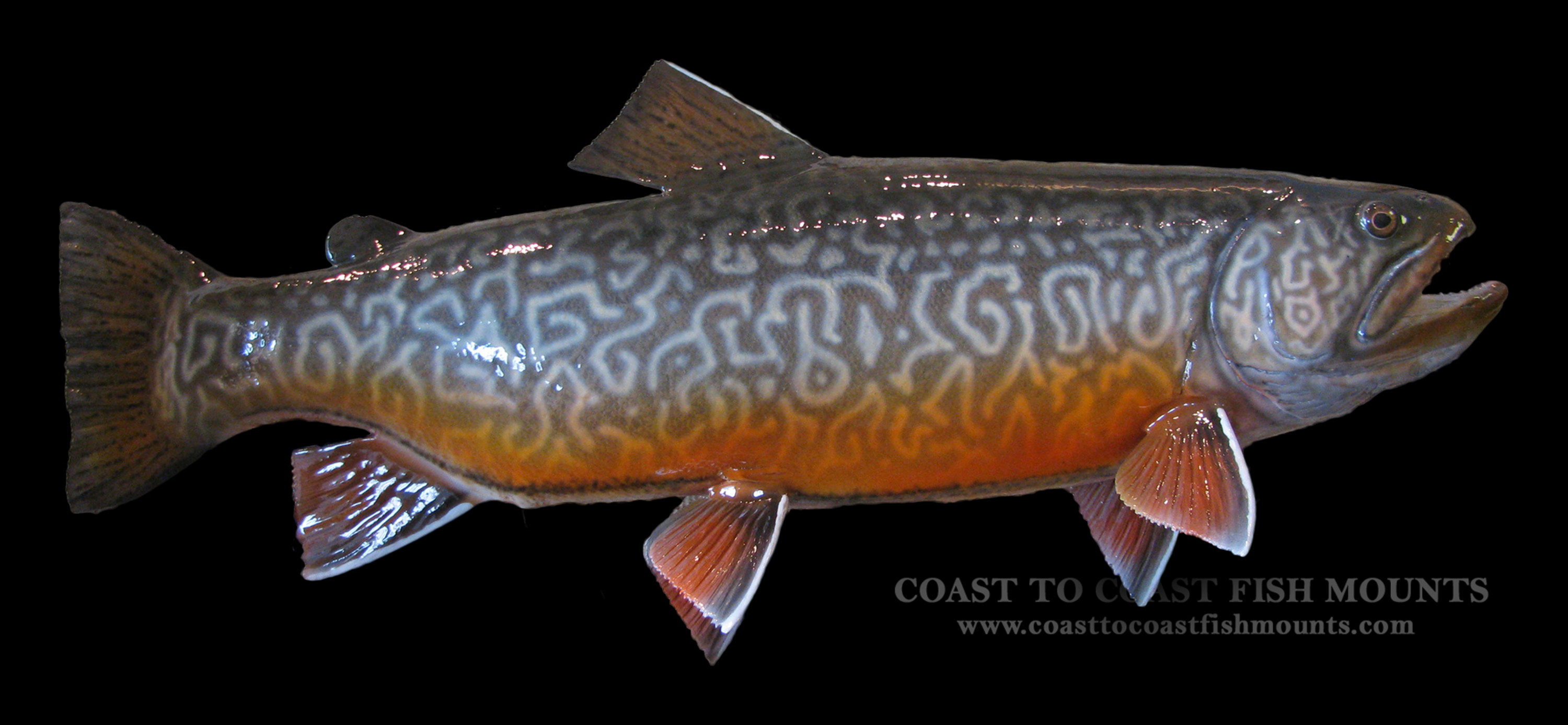 Tiger trout fish mount and fish replicas coast to coast for How to mount a fish