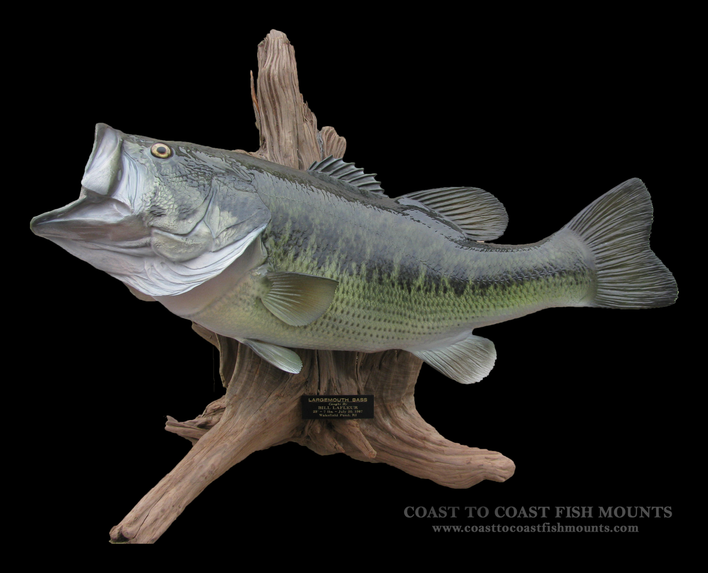 Largemouth bass replica mounts