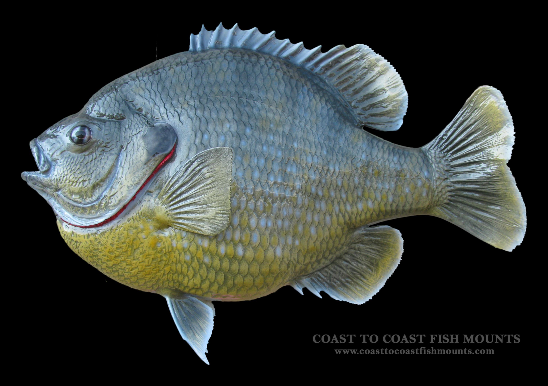 Bluegill fish mount and fish replicas coast to coast for Replica fish mounts
