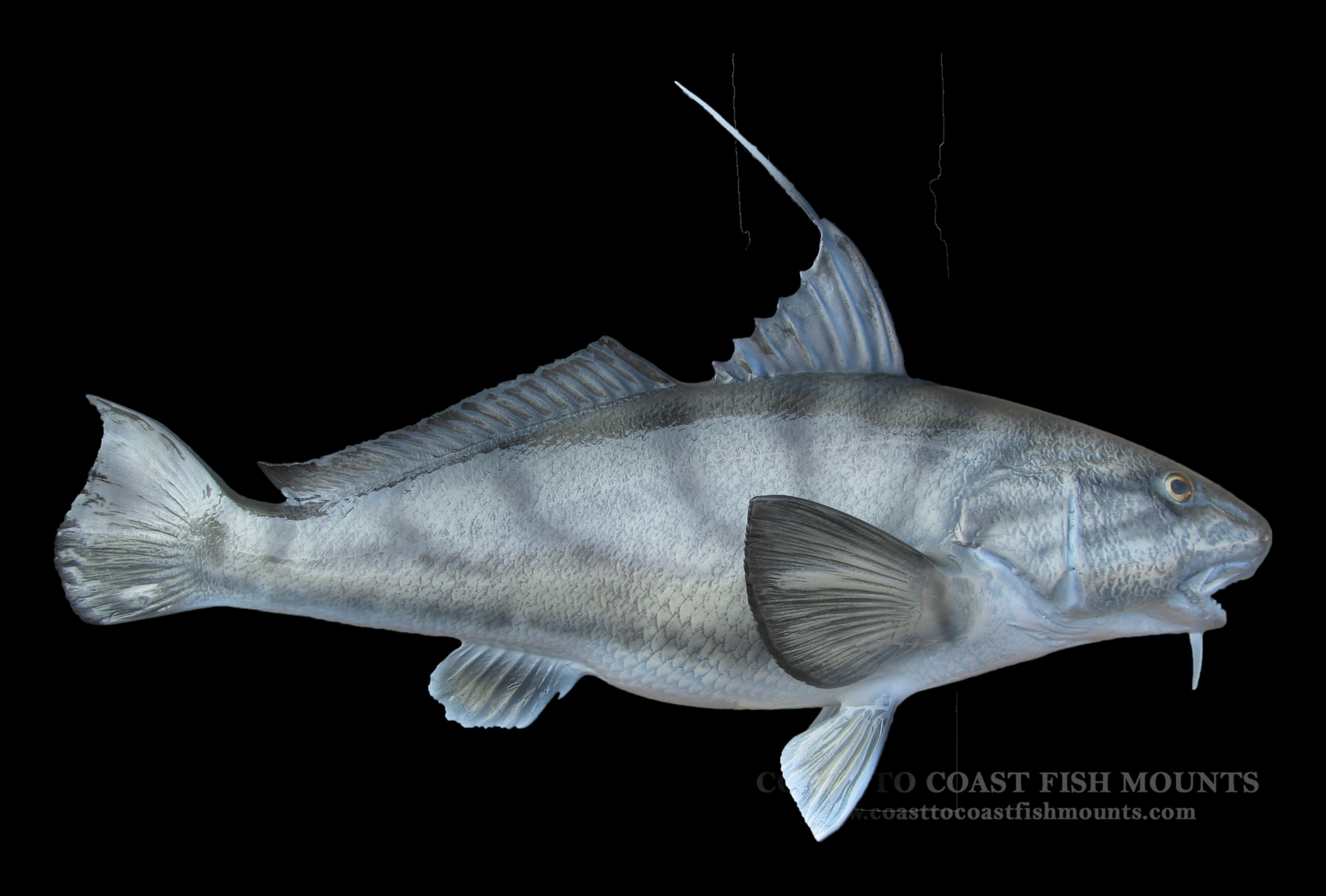 Northern kingfish fish mount and fish replicas coast to for Replica fish mounts