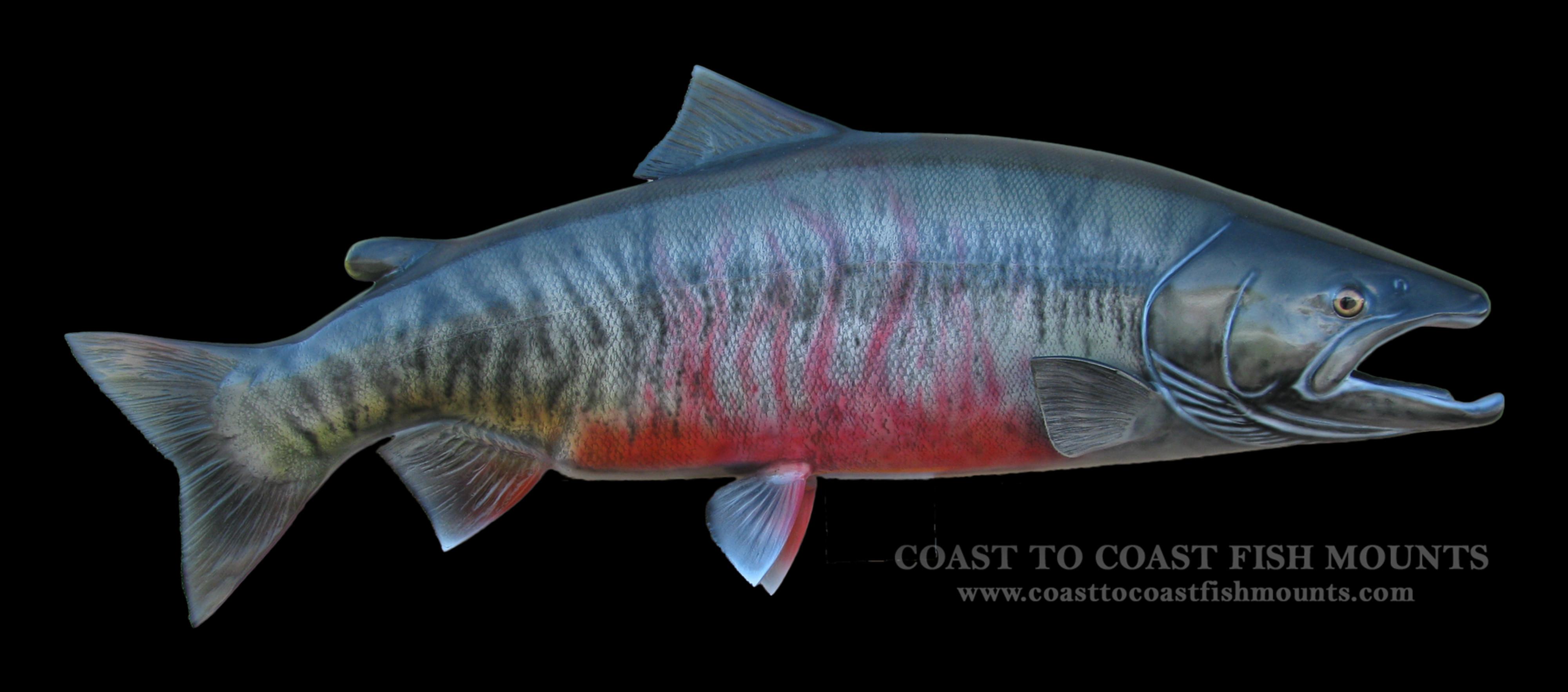 Chum salmon fish mount and fish replicas coast to coast for Replica fish mounts