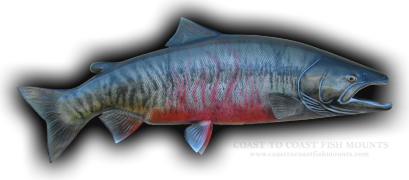 Chum salmon fish mount and fish replicas coast to coast for Salmon fish images