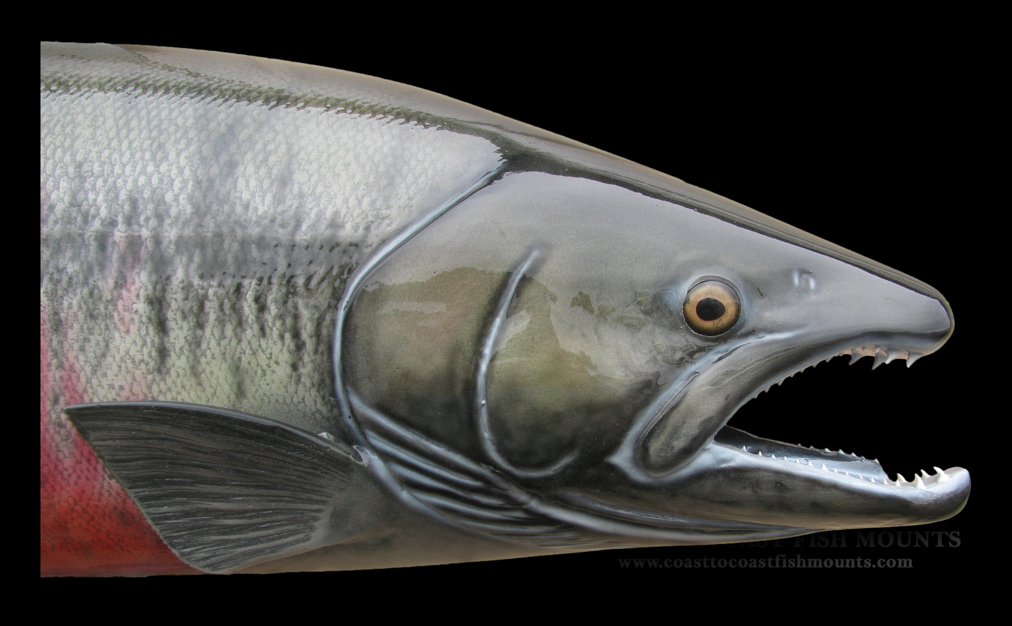 Chum salmon fish mount and fish replicas coast to coast for Fiberglass fish replicas