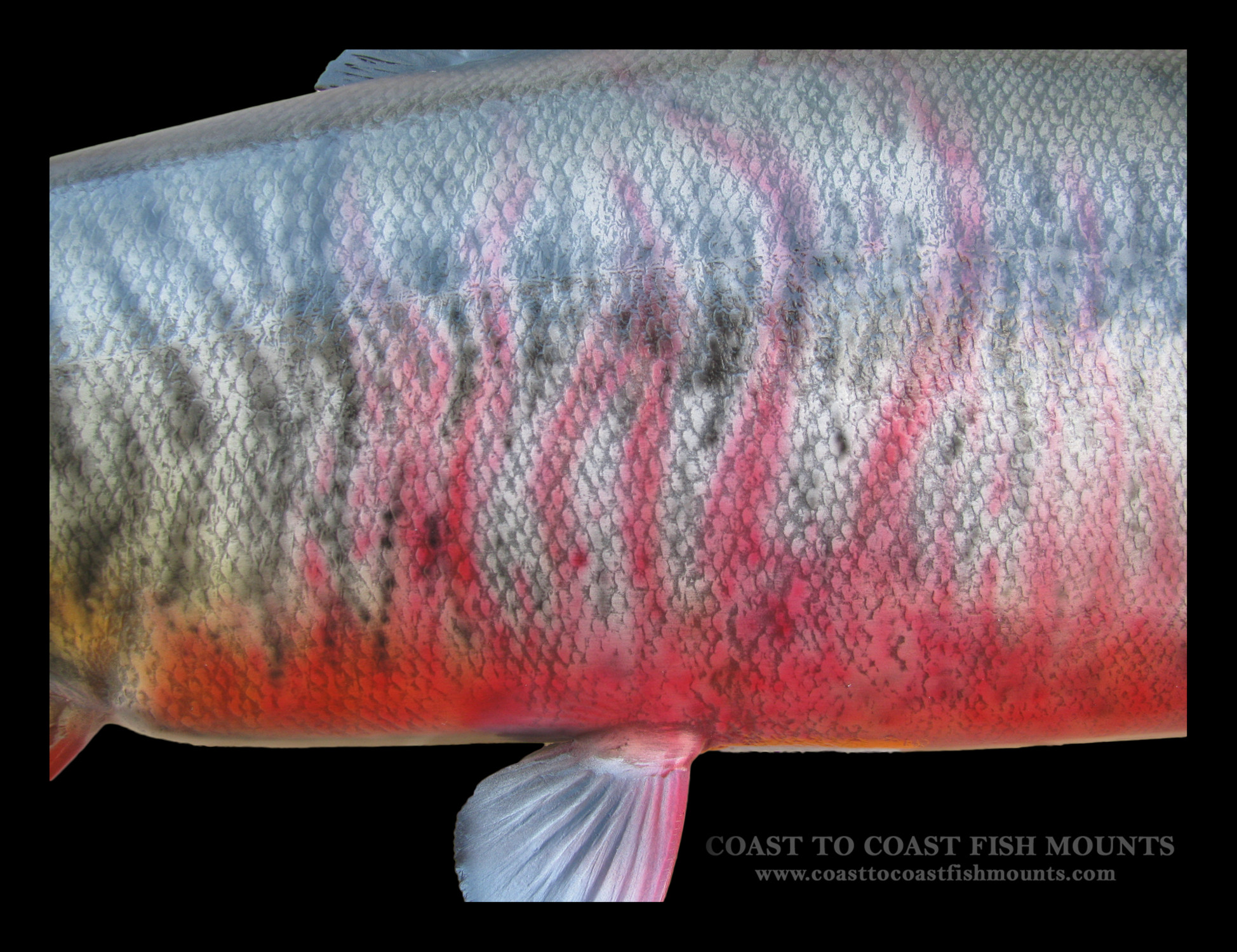 Chum Salmon Fish Mount and Fish Replicas | Coast-to-Coast