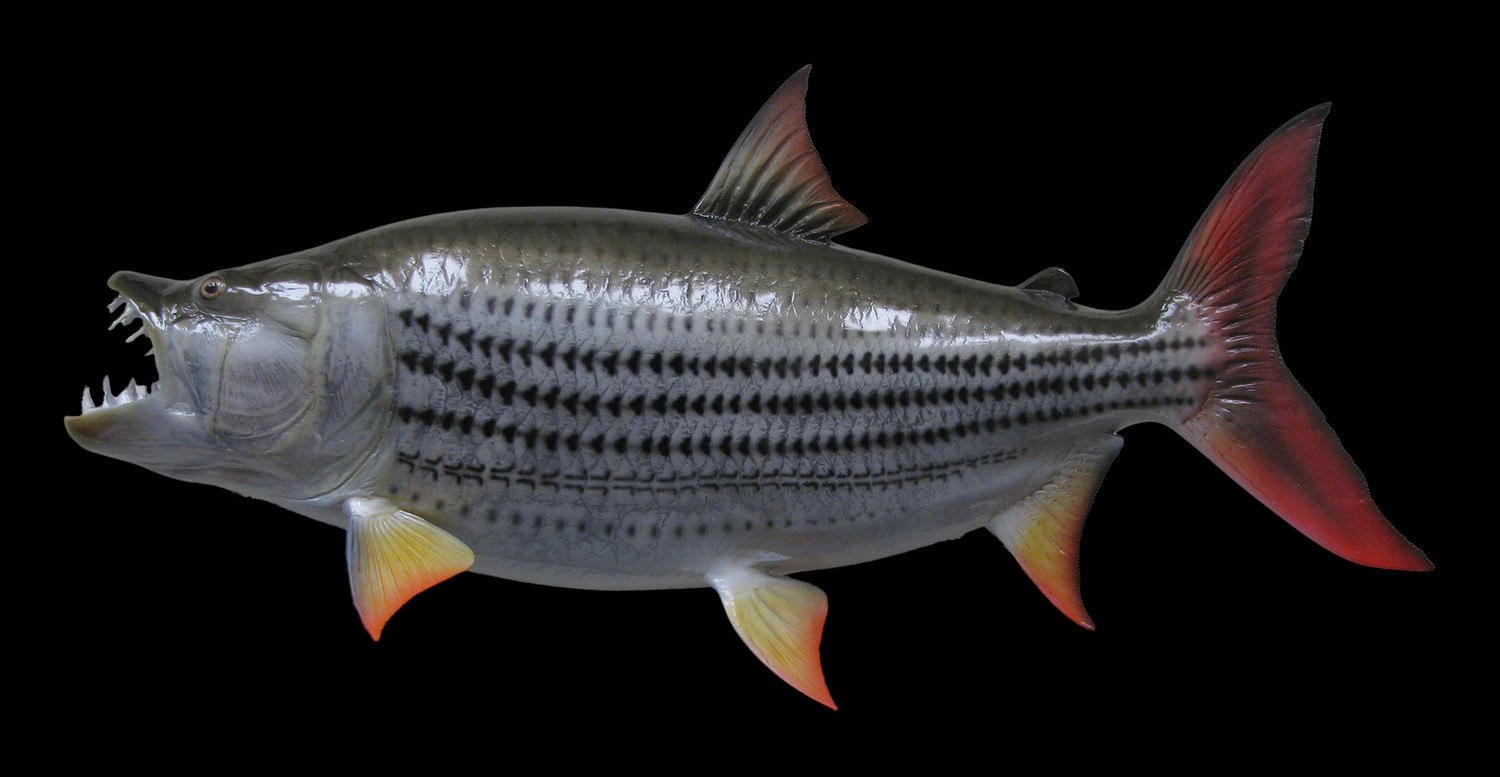 Tigerfish fish mount and fish replicas for Replica fish mounts
