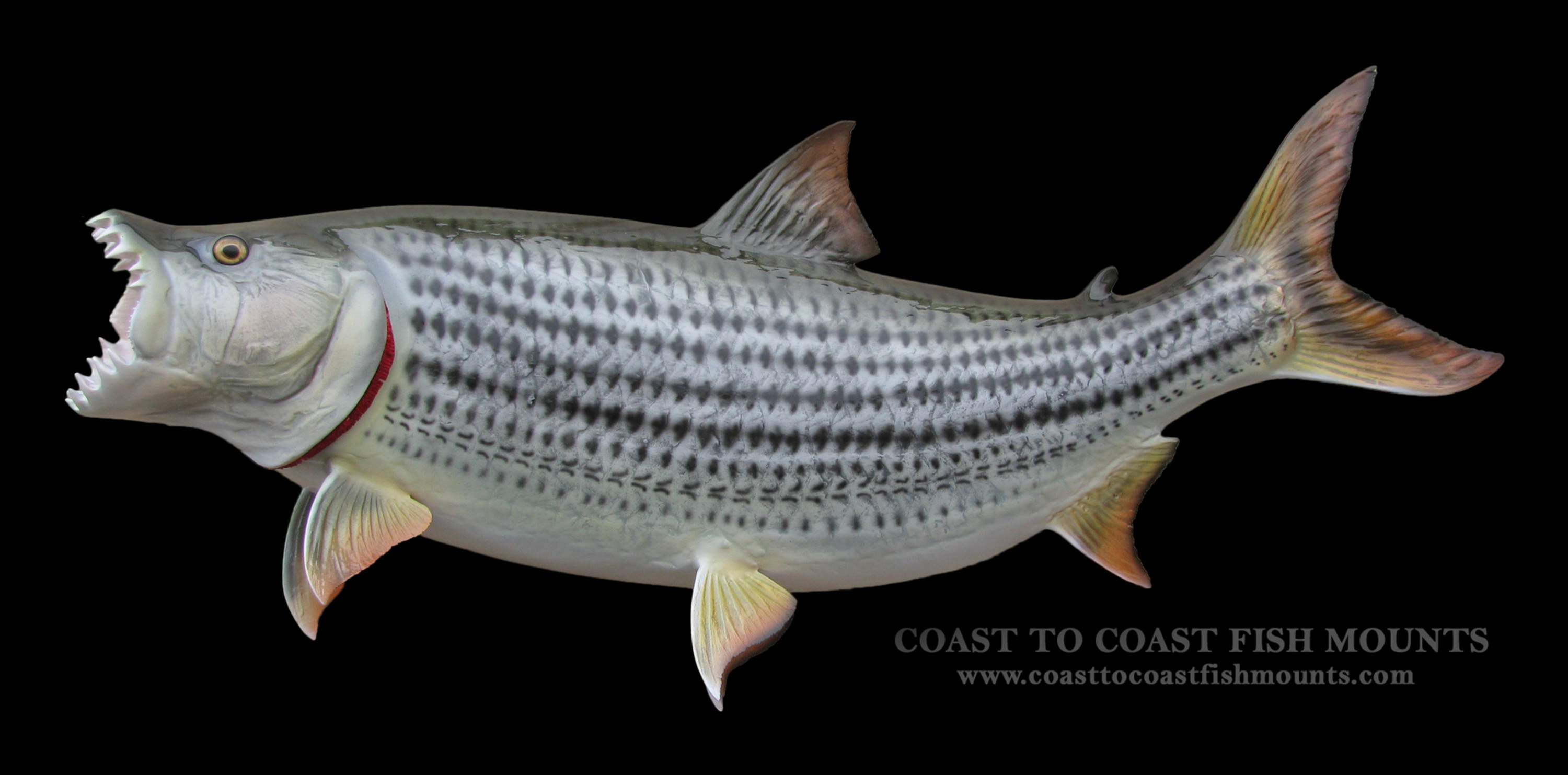 Tigerfish fish mount and fish replicas coast to coast for Tiger fish pictures